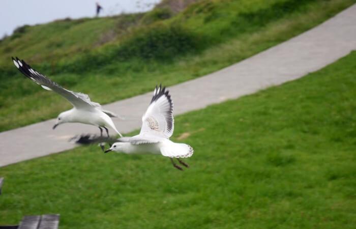 Flying_seagulls_at_Kiama_beach_during_Christmas,_Sydney_2013
