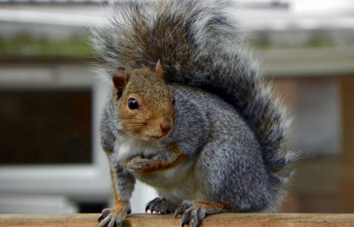 Grey_Squirrel_(Sciurus_carolinensis)v1