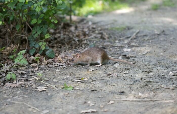 Rat_wildv1