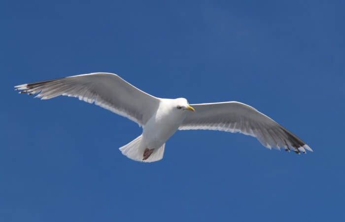 Seagull_flying_(5)v1