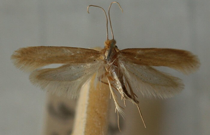 Tineola.bisselliella.mounted