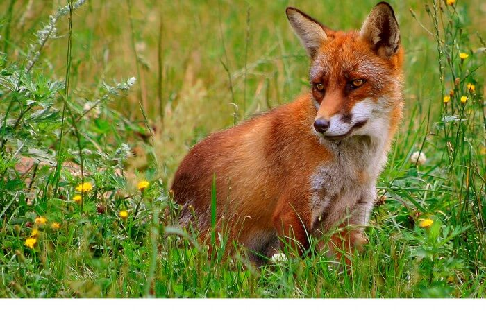Fox pest Bristol