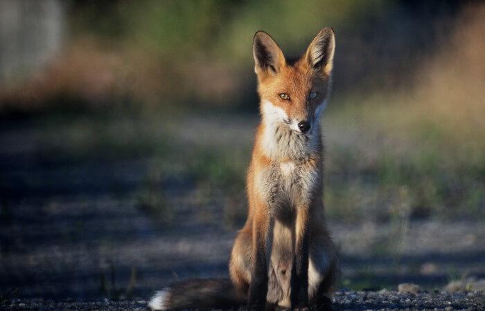 rav_fox